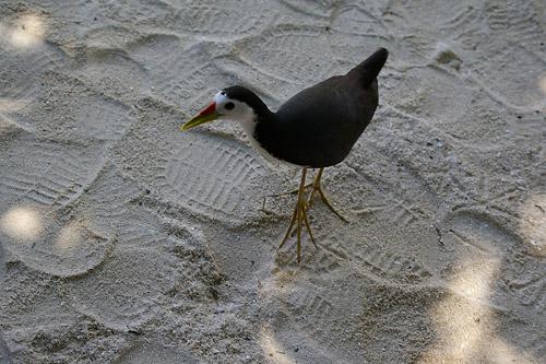 タージエキゾティカの鳥